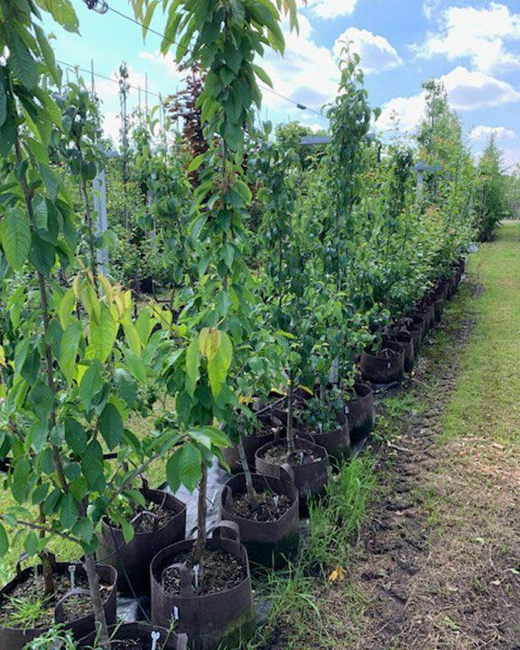 Fruitbomen vele soorten 45,-