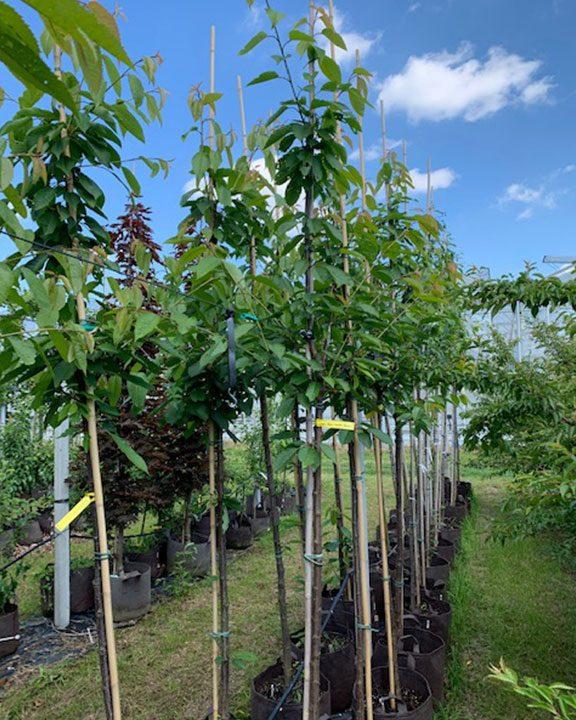 Hoogstam fruitbomen , peren, pruimen, kersen, appel 65,-