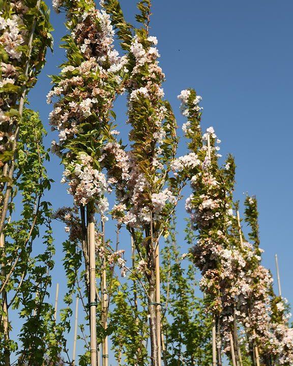 Prunus-in-soorten-hoogstam-(sierkers)-65,--
