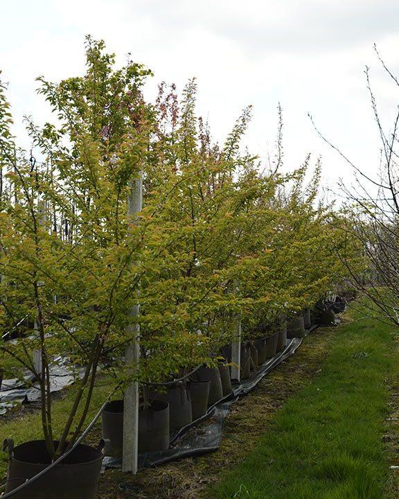 Prunus-in-soorten-meerstammige-struiken-(sierkers)-85,--