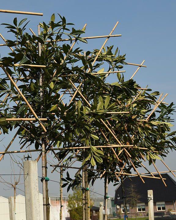 Prunus-laur.-Caucasica-(leilaurier)-120,--