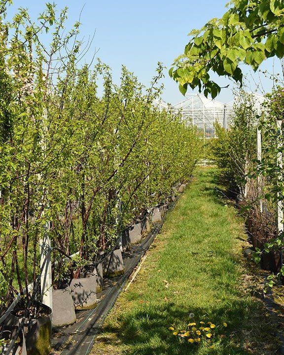 Prunus-serrula-85,--