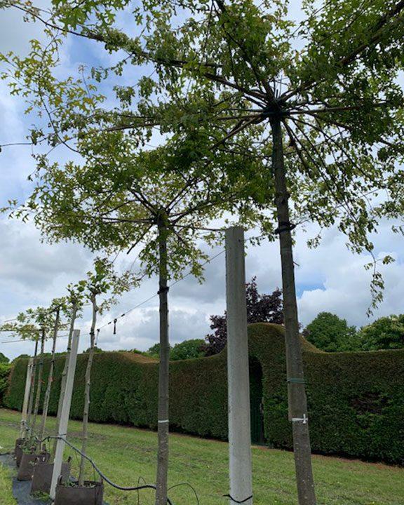 Quercus palustris dakvorm vanaf 78,-