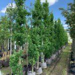 Quercus robur Fastigiata zuileik 85,-