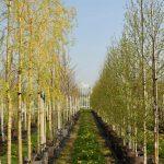 Salix-sep.-Tristis-(leiwilg)-120,--