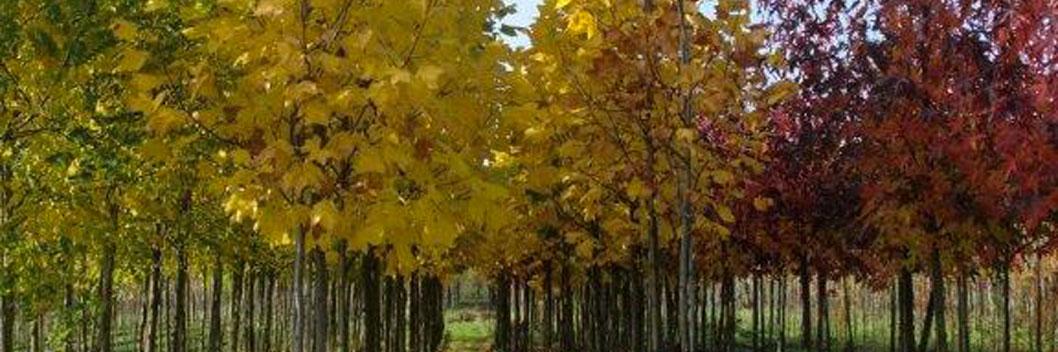 2 keer verplante bomen