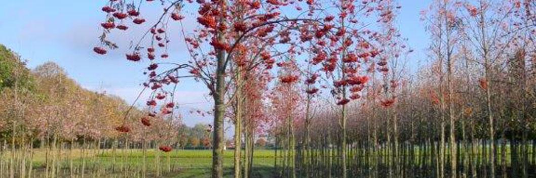 3 keer verplante bomen