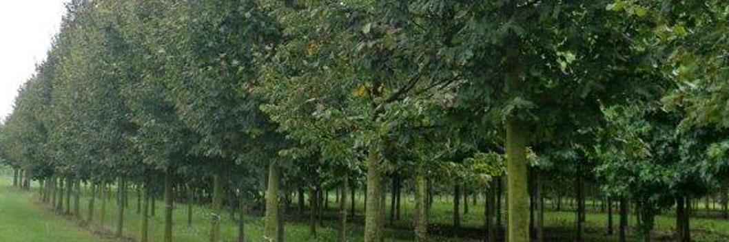 5 keer verplante bomen