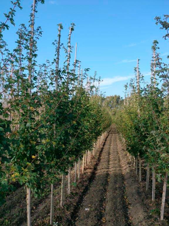2-keer-verplante-bomen
