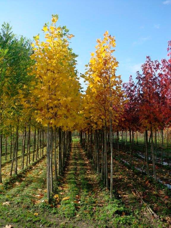 3-keer-verplante-bomen