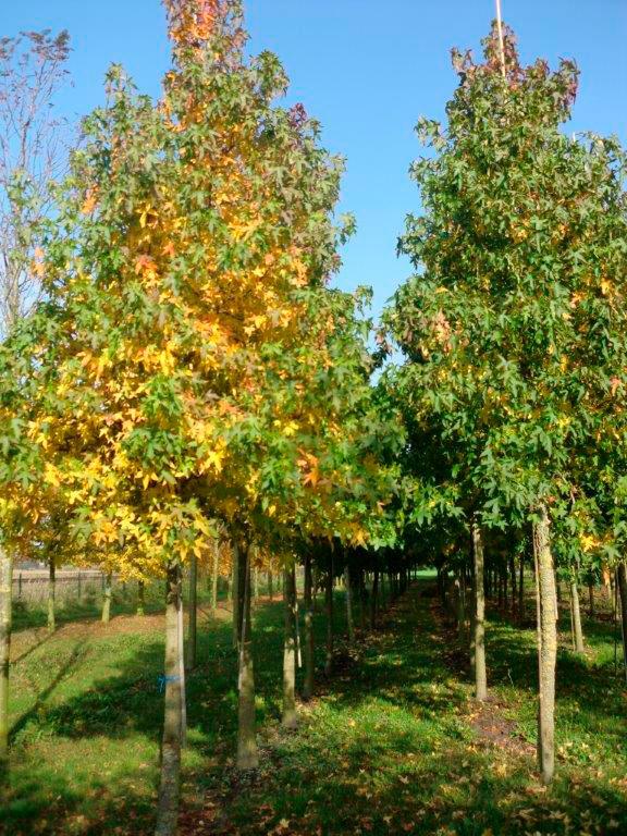 4-keer-verplante-bomen