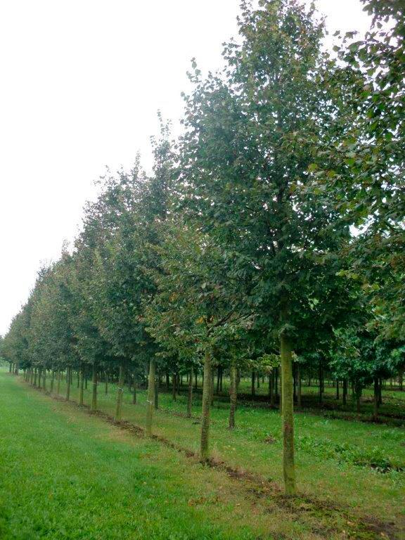 5-keer-verplante-bomen