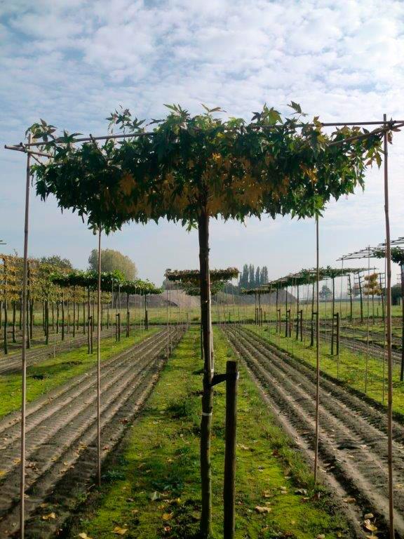 geleide- vormbomen